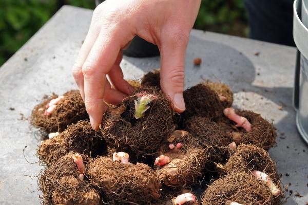 Бегония клубневая. Сорта, посадка и уход из семян в домашних условиях зимой, осенью