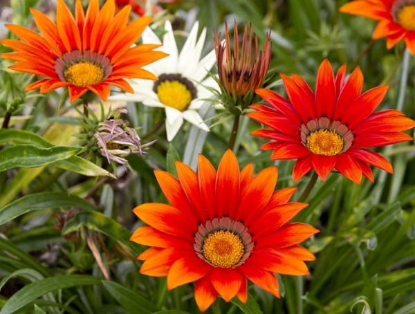 Гацания. Фото цветов на клумбе многолетняя посадка, уход в открытом грунте