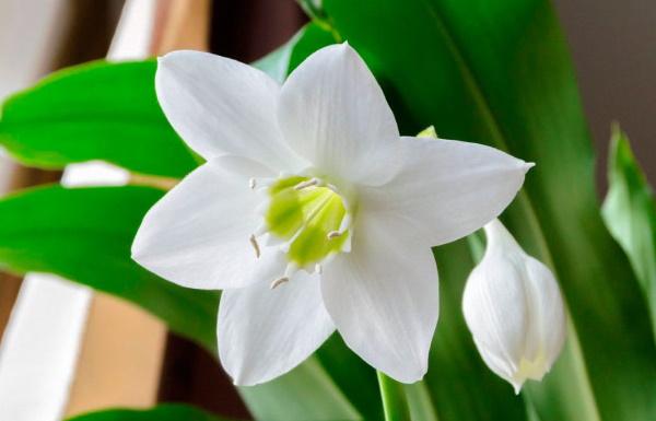 Комнатные лилии с широкими и узкими листьями. Фото, название, уход