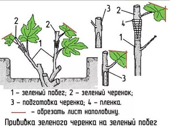Виноград Кеша 1-2. Описание сорта, фото, отзывы, обрезка осенью