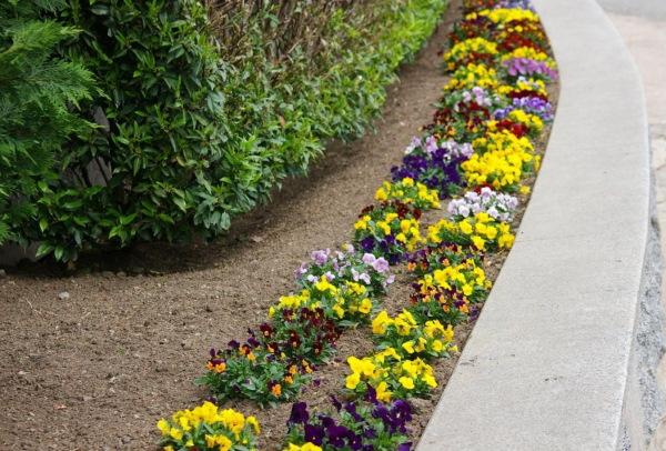Анютины глазки (фиалка трехцветная) цветы. Фото, виды, как вырастить