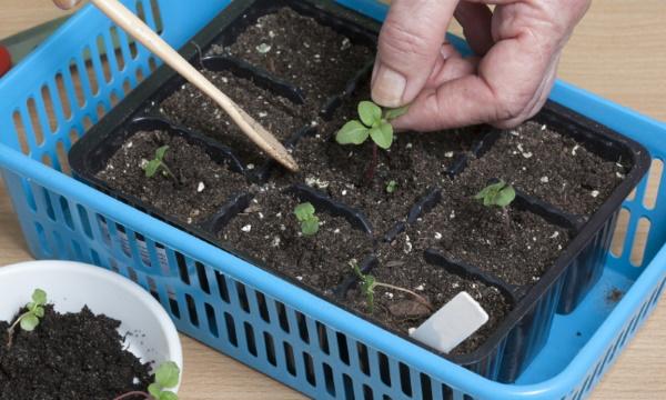Годеция. Фото цветов на клумбе, выращивание, семена, рассада, с какими цветами сочетается
