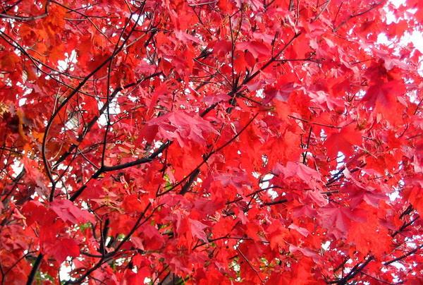 Клен канадский. Фото листьев, дерева Краснолистный, Сахарный, Остролистный, Пестролистный