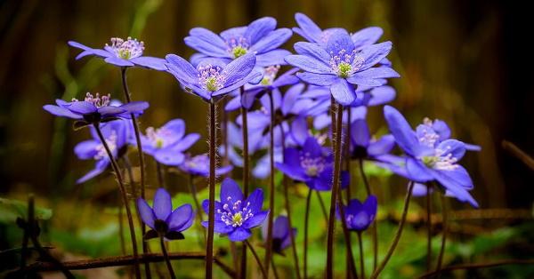 Печеночница благородная. Фото и описание, когда цветет, посадка и уход, выращивание