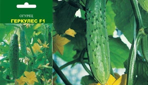 Лучшие сорта огурцов для теплицы: самоопыляемые, устойчивые к болезням, для засолки