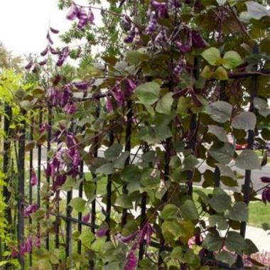 Долихос цветок-лиана, вьющаяся сирень. Фото и описание, выращивание из семян в открытом грунте, уход