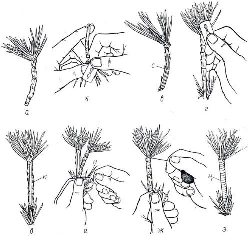 Как размножить можжевельник, быстрый и легкий способ черенками, отводками