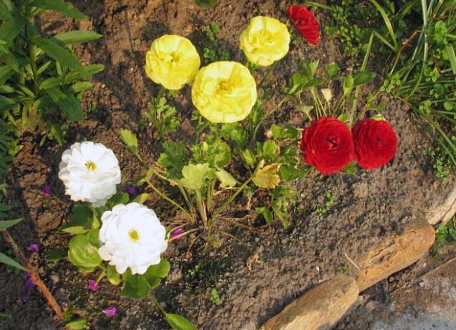 Лютики садовые многолетние. Посадка и уход, фото в горшке, открытом грунте