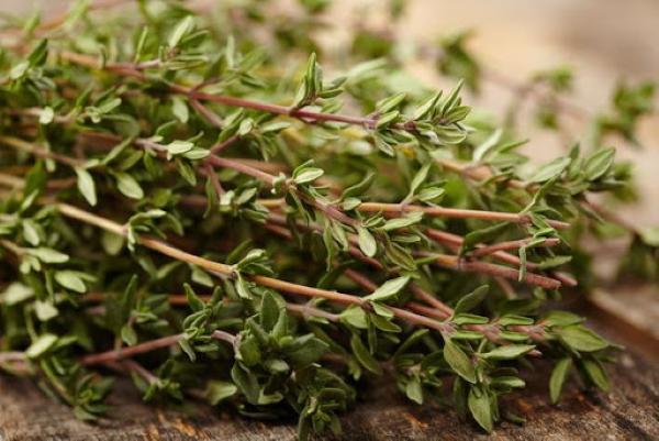 Тимьян. Сорта, виды, фото, посадка и уход, выращивание из семян в открытом грунте