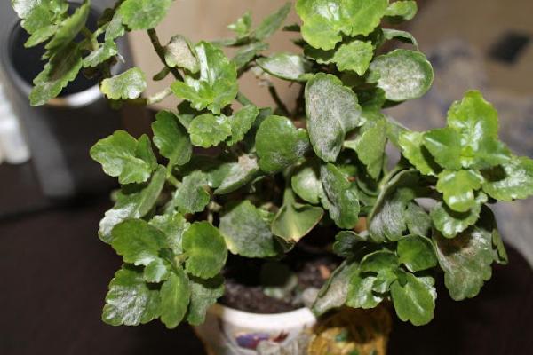 Болезни комнатных растений по листьям. Фото, лечение