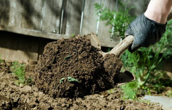 Турецкая гвоздика. Фото цветов на клумбе, выращивание, рассада, уход