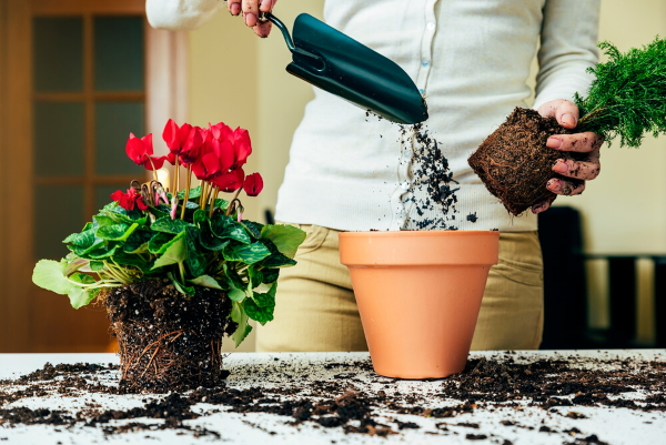 Трипсы на комнатных растениях. Фото, как выглядит, лечение в домашних условиях