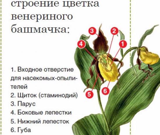 Венерин башмачок настоящий. Где растет, фото и описание