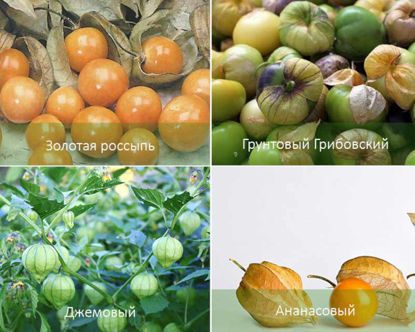 Физалис съедобный. Полезные свойства, выращивание и уход в открытом грунте