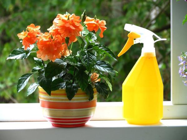 Кроссандра цветок комнатный. Фото, уход в домашних условиях