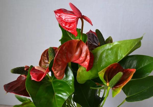 Болезни антуриума. Фото и описание, лечение листьев, цветка