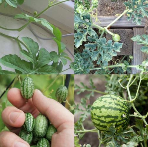Как растет арбуз. Фото по этапам, стадиям роста. Выращивание