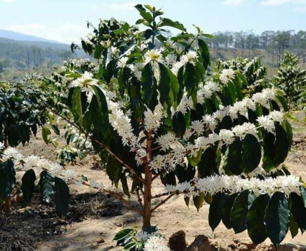 Как растет кофе дерево в природе. Фото, выращивание в домашних условиях
