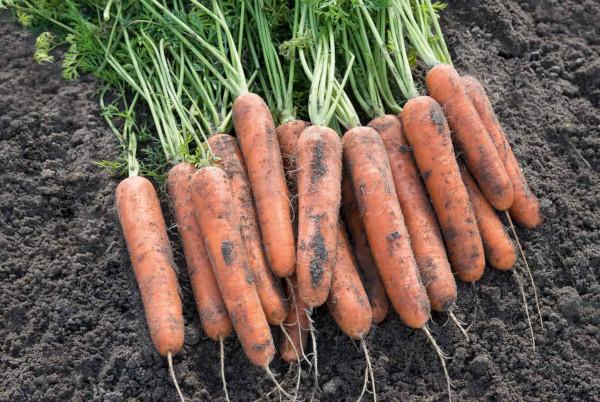 Морковь Самсон. Описание сорта, фото, отзывы, характеристика