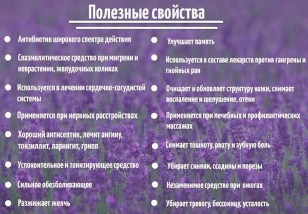 Лаванда на Урале. Посадка и уход в открытом грунте, горшке