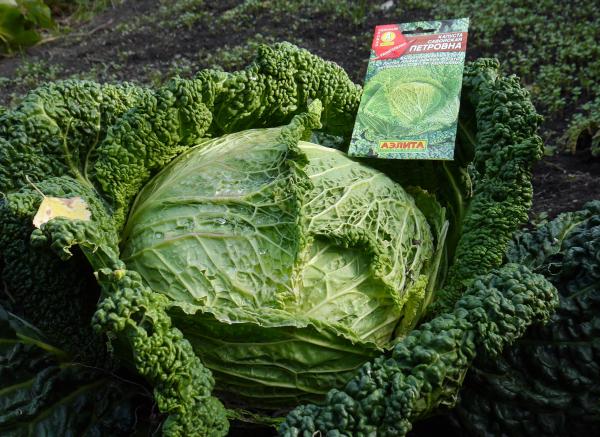 Савойская капуста. Фото как растет, выращивание и уход в открытом грунте