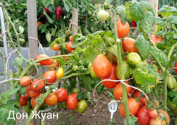 сорт помидор дон жуан отзывы и фото
