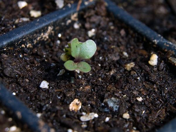 Как растет брокколи капуста. Фото поэтапно