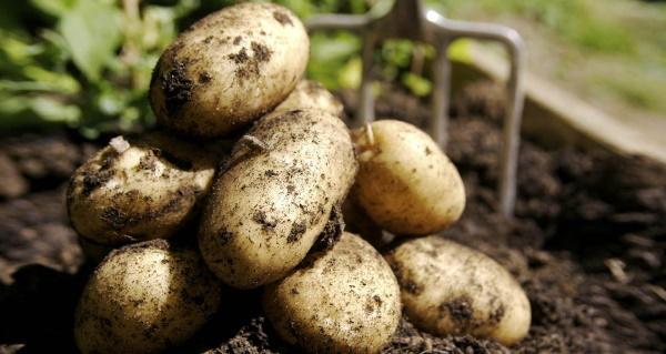 Картофель Бриз. Описание сорта, фото, отзывы