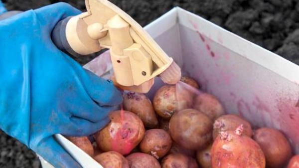 Картофель Ароза. Описание сорта, фото, отзывы