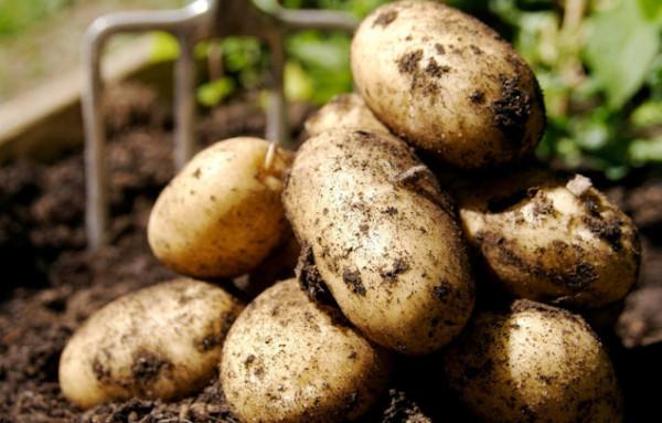 Картофель Метеор. Описание сорта, фото, отзывы